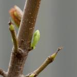In der Knospe wächst das Blatt